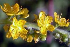 Agrimonia Eupatoria – Agrimonia