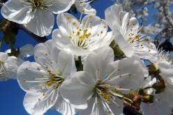 Cherry Plum-Prunus Cerasifera