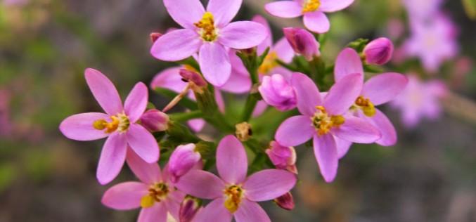 Centaury-Centaurium umbellatum