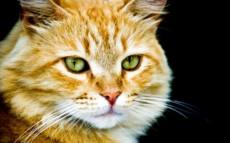 L'alimentazione ideale del gatto