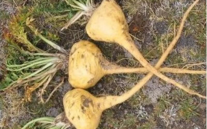 Maca peruviana, la pianta afrodisiaca