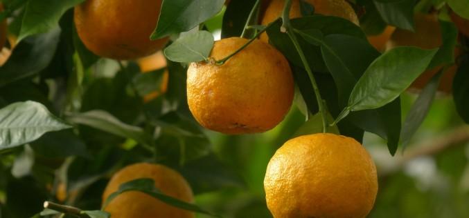 L'arancio amaro per bruciare i grassi