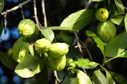 La garcinia, il frutto anti trigliceridi